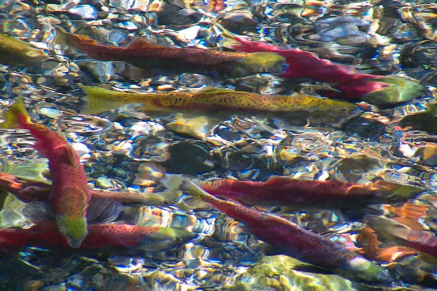 kokanee_wallowa_river