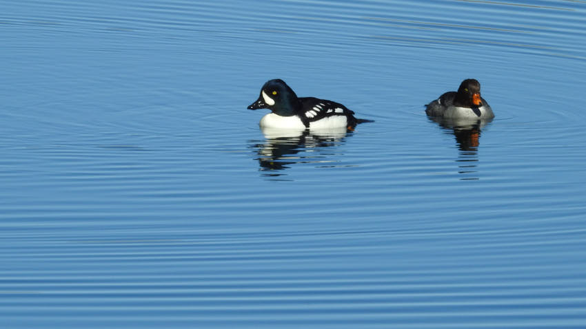 barrows goldeneye pair 3 12 18